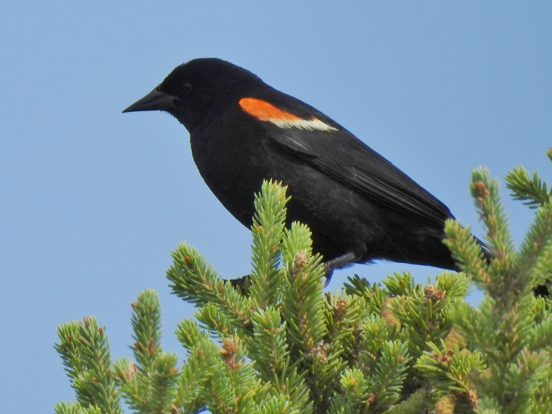 Red-wing Blackbirds at Fort Whyte Alive