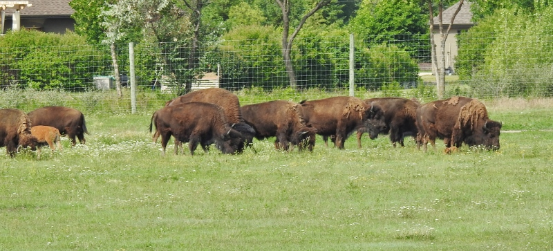 Bison at Fort Whyte Alive