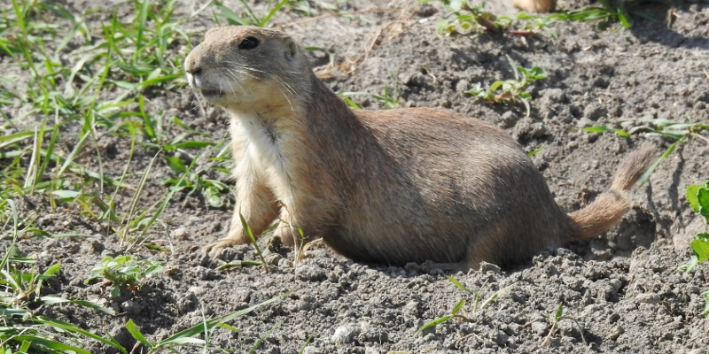 Prairie Dogs at Fort Whyte Alive