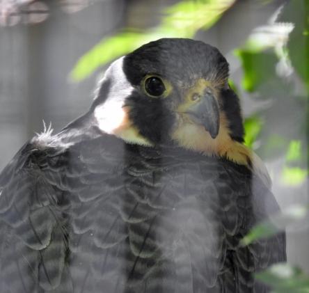 Perigrin Falcon
