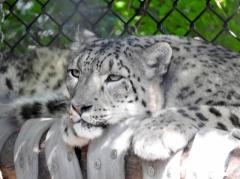 Snow Leopard - Batu