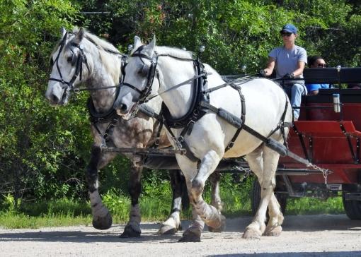 Percheron Horses - Rival & Tom