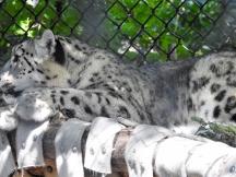 Snow Leopard Cub - either Kaash or Arka (getting big)