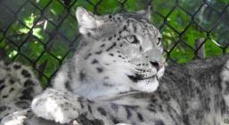 Snow Leopard Batu (the mom)