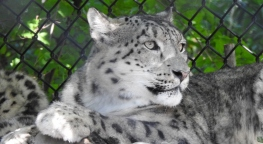 Snow Leopard Batu (the mom)