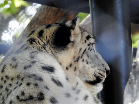 Snow Leopard Akra (the dad)