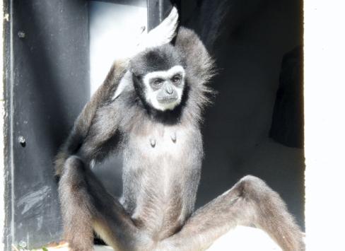 White-handed Gibbon - Maya