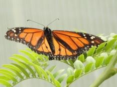 Butterfly in Butterfly Garden