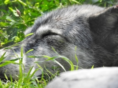 Another sleeping Grey Wolf