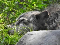 Sleeping Grey Wolf