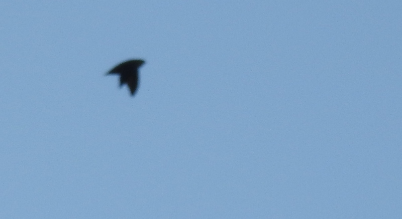 Chimney Swifts in My Neighbourhood