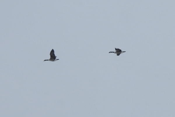 Canada Geese flying past