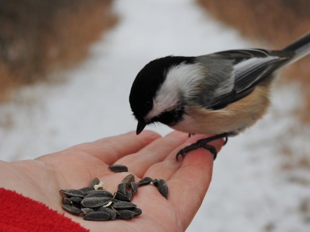 A Chickadee Morning at Birds Hill Provincial Park